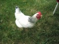 Holly the Hen