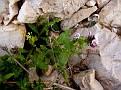 Anchusa variegata (10)