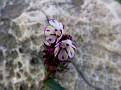 Anchusa variegata (3)