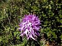 Orchis italica (10)