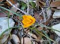crocus olivieri  (3)
