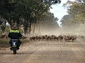 Droving a mob of sheep in the Pilliga 008