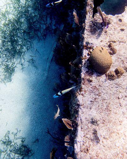 bluehead wrasse fish