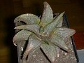 Haworthia koelmaniorum -eb