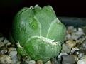 Haworthia lockwoodii -Laingsburg