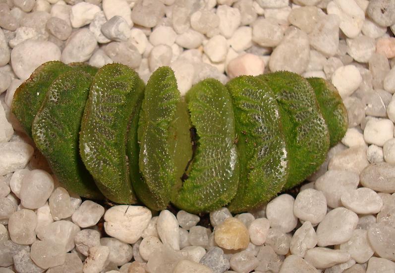 Haworthia truncata 'Down Under' Plant ex John Pilbaem