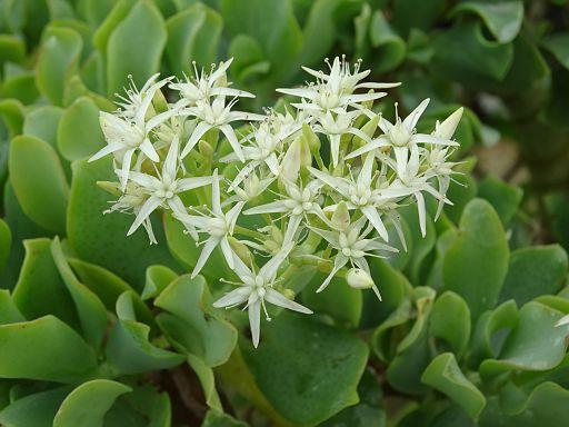 Crassula arborescens v. undulatifolia