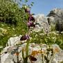 ophrys hybrid ferrum x mamosa ή ferrum x aesculapii (9)