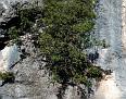 Ceratonia siliqua, Χαρουπιά (2)