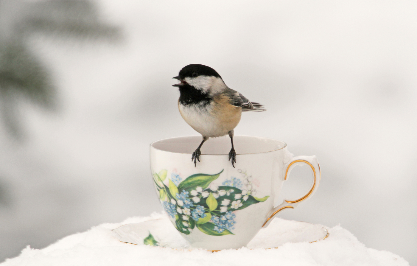 Chickadee at Teacup #22