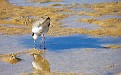Plover in the Wynnum wading pool 011