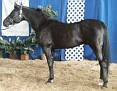 HA SIRIBN WITEZ #540961 black stallion