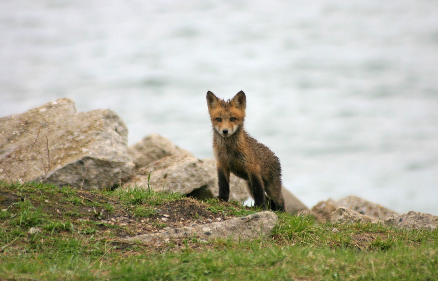 Red Fox Series #28