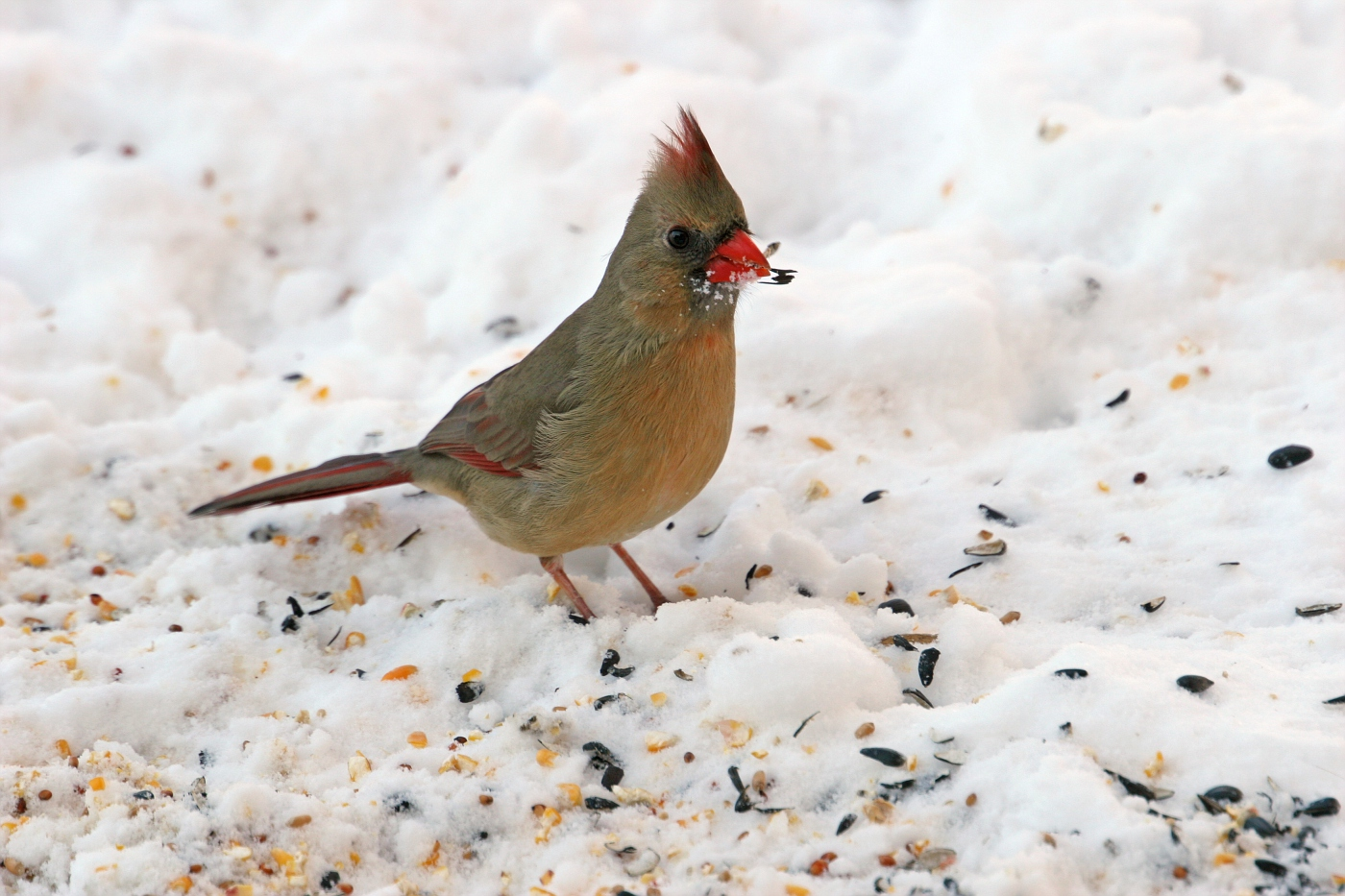 Female Cardinal with a Snack