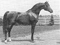 DON AMISTAD+  #37169 (Ibn Hanrah x Al-Marah Gazelle, by Indraff) 1966-1992 bay stallion; bred by Gerald Donoghue / Donoghue Arabian Farms, Texas; sired 241 registered purebreds