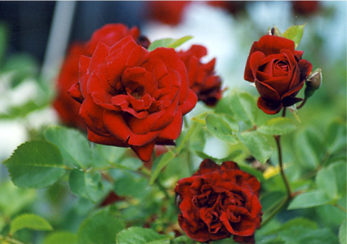 rose crimson glory 5 21 02 -4b