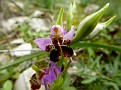 Ophrys mycenensis (8)