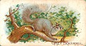 1909 Philadephia Caramel Zoo Gray Squirrel (1)
