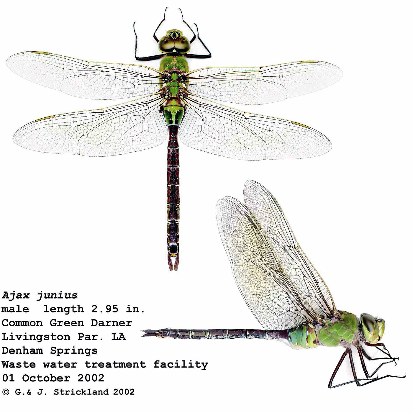 A. Junius male