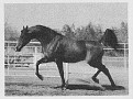 ALARM #200644 (Banat x Alarga, by Arragon) 1975 bay stallion bred by Kurozweki