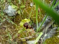 Ophrys melena (15)
