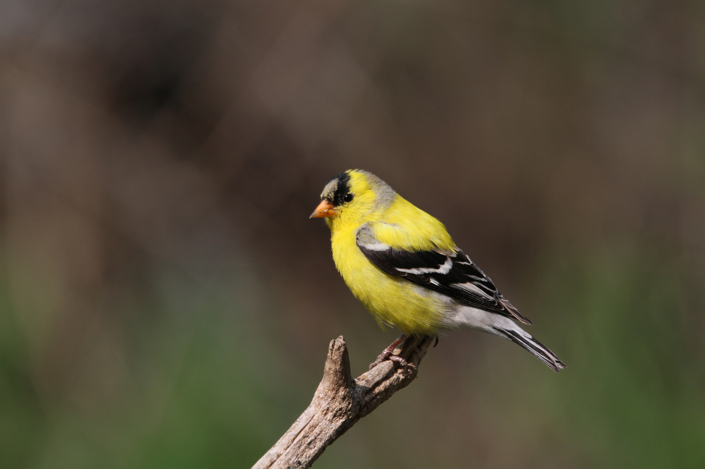 Male Goldfinch #6
