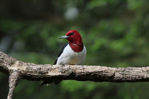 Red-headed Woodpecker #6