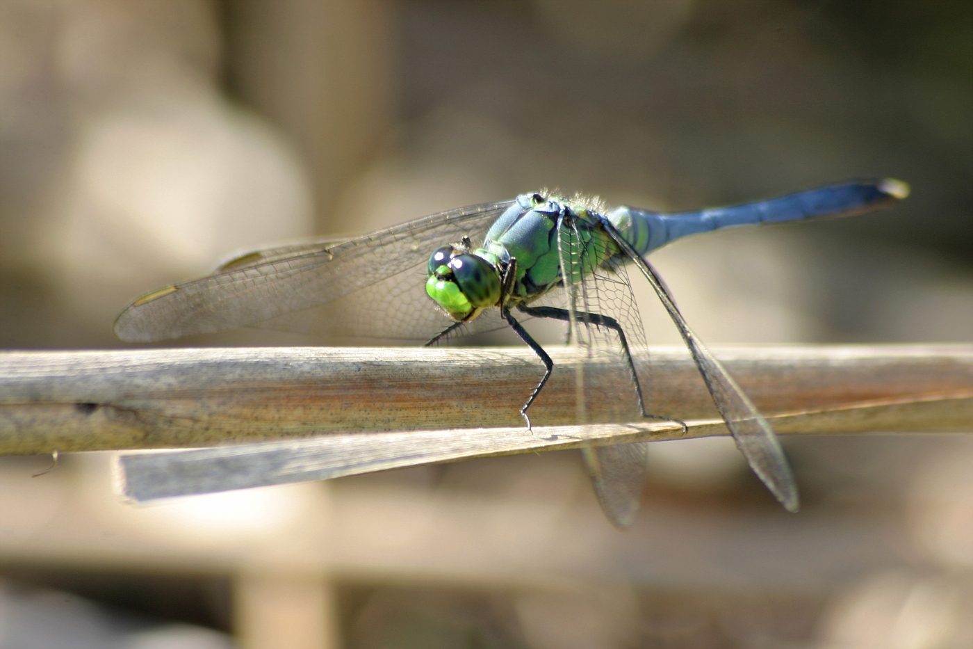Juvenile Male Common Pondhawk