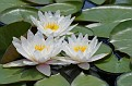 Water Lily #9