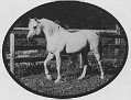 SHALIMAR HEATH #33069 (Orbit x Collette, by Rapture) 1965 grey stallion bred by Dr & Mrs Bill Munson; sired 46 registered purebreds