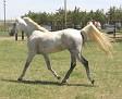 SHALIMAR MINE #564265 (Shalimar Caribou x Shalimar Zenobia) 1998 grey stallion