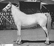 *MENFIS #1217 (Egipto x Siria, by Nowyck) 1927 grey mare bred by Marquis de Domecq, Jerez, Spain. Imported to the USA by Jedel Arabian Ranch/ Jim & Edna Draper 1934