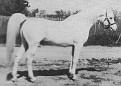 SUR-BUDDI+ #17811 (Sureyn x Jubilee,by Jubilo) 1960 grey stallion bred by James Draper; sired 43 registered purebreds