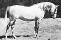 SURITA #8068 (Sureyn x Bonita, by Caravan) 1952-1974 grey mare bred by James Draper/ Jedel Arabian Horse Ranch; produced 8 registered purebreds