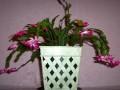 chirstmas cactus 100 6671