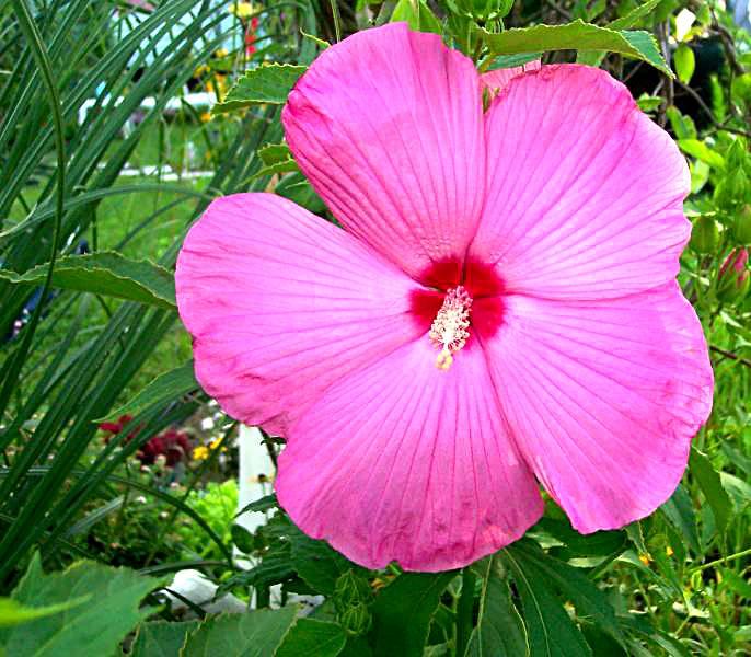 hibiscus 8 10 03 -4