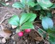teaberry IMGP5914