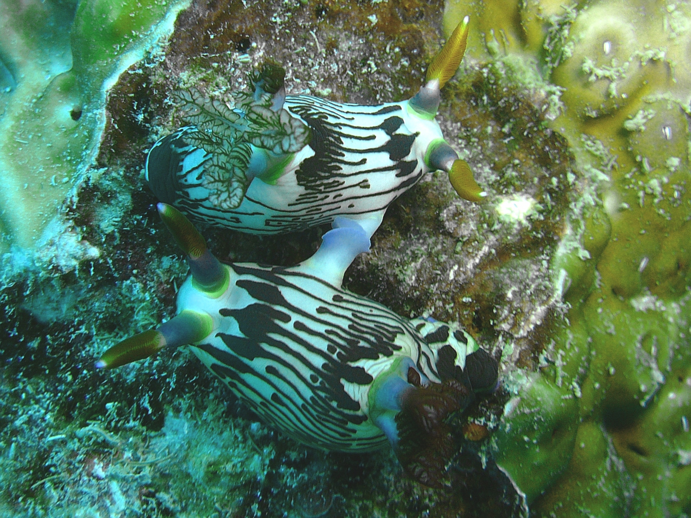 Mating Nudibranchs