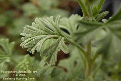 Pelargonium abrotanifolium