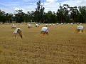 Stooks of Hay Sheaves 003