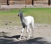 Калининград Лама Kaliningrad Zoo Lama DSC5771 034 2