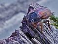 Майский жук Maybug DSC 1333 015 4 1
