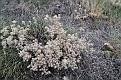 Цветы Карадага Flowers of Karadag DSC 4764 088 4 0 m