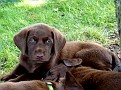 choc lab pup abbey litter