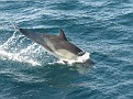 common dolphin 3
