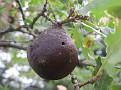 Andricus coriarius insect Quercus (4)