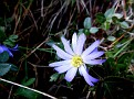 Anemone blanda (18)
