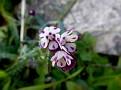 Anchusa variegata (6)