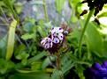 Anchusa variegata (9)