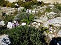 Orchis italica (11)